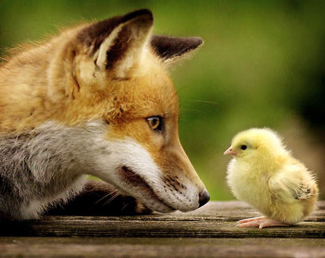 Fox and baby chicken